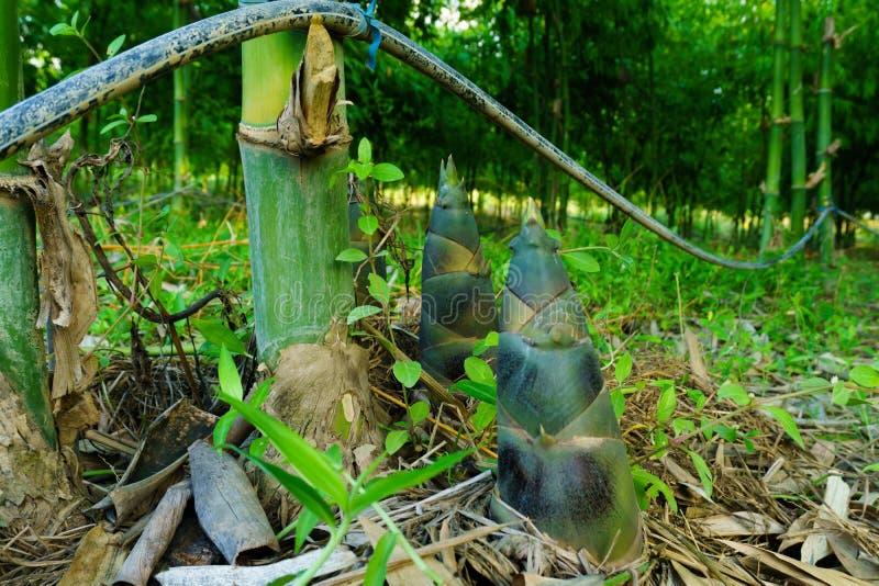 Bambusowy krótkopęd, Bambusowi krótkopędy podczas podeszczowego sezonu obrazy stock