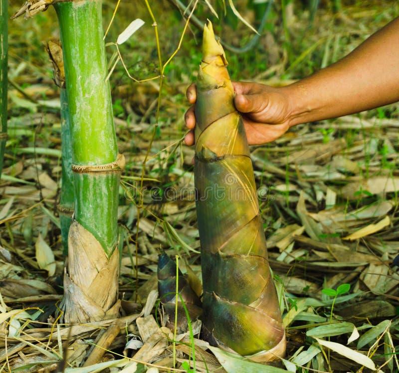 Bambusowy krótkopęd, Bambusowi krótkopędy podczas podeszczowego sezonu obraz royalty free