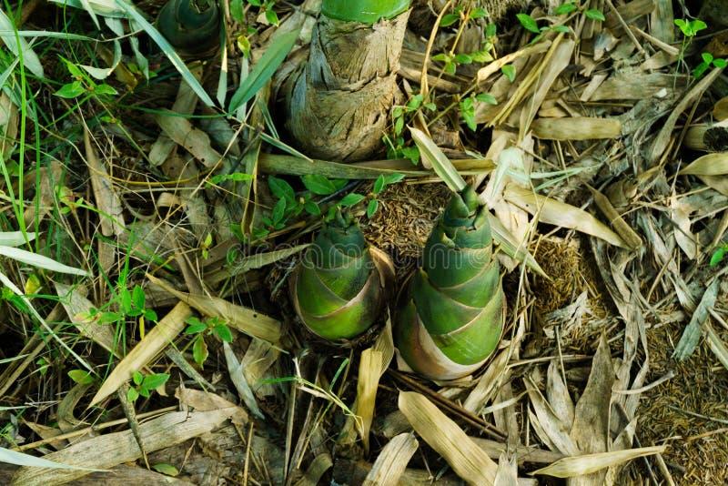 Bambusowy krótkopęd, Bambusowi krótkopędy podczas podeszczowego sezonu zdjęcie royalty free