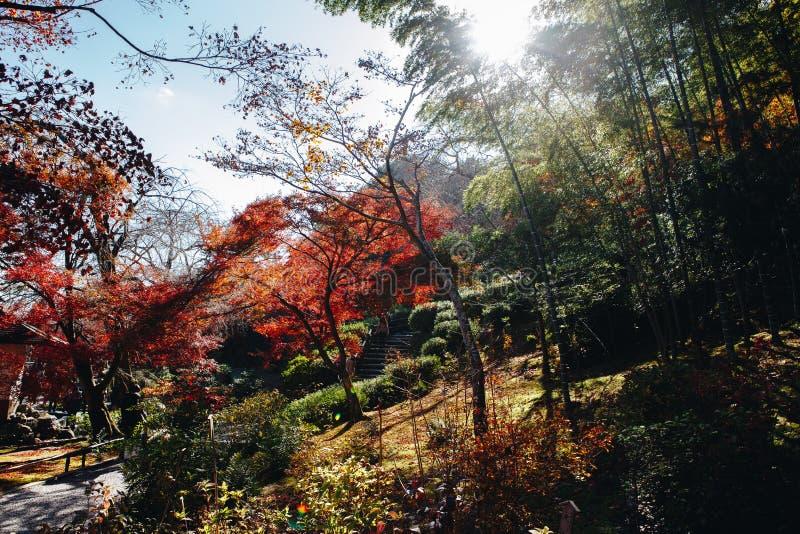 Bambusowy las jest naturalnym lasem lokalizować w Arashiyam bambus zdjęcia stock