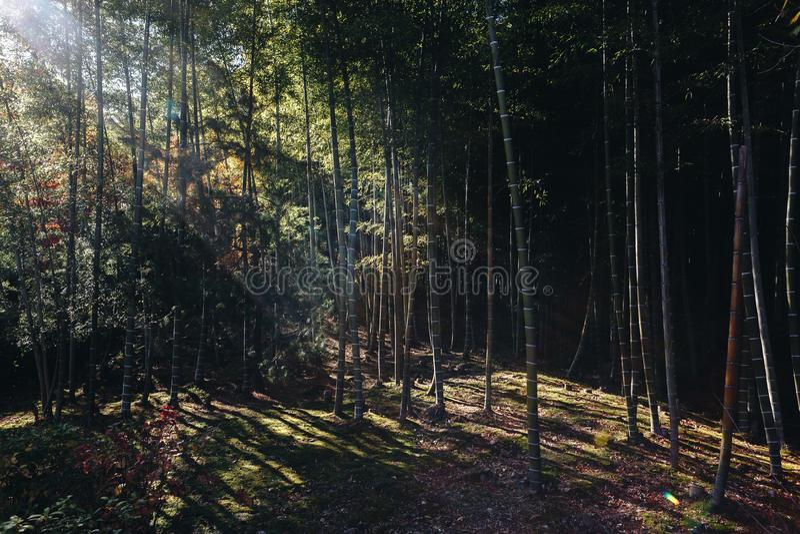 Bambusowy las jest naturalnym lasem lokalizować w Arashiyam bambus zdjęcia royalty free