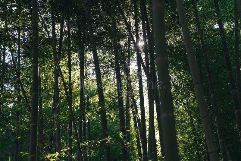 Bambusowy las jest naturalnym lasem lokalizować w Arashiyam bambus fotografia stock