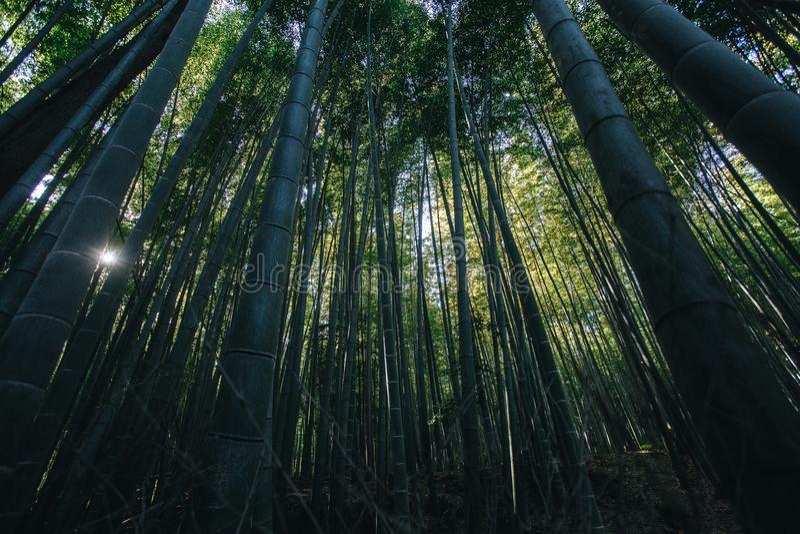 Bambusowy las jest naturalnym lasem lokalizować w Arashiyam bambus fotografia royalty free