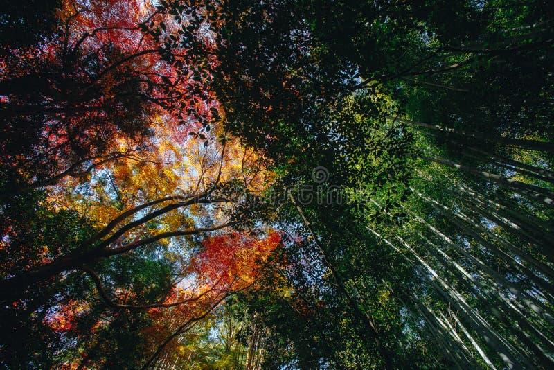 Bambusowy las jest naturalnym lasem lokalizować w Arashiyam bambus zdjęcie stock