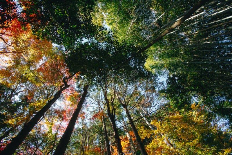 Bambusowy las jest naturalnym lasem lokalizować w Arashiyam bambus obrazy royalty free