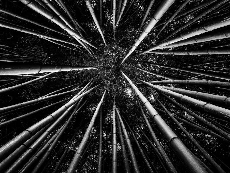 Bambusowy las w Czarny I Bia?y obraz stock