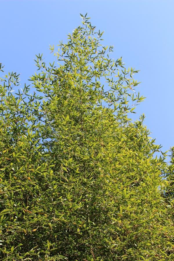 Bambusowy las w Japonia zdjęcia royalty free