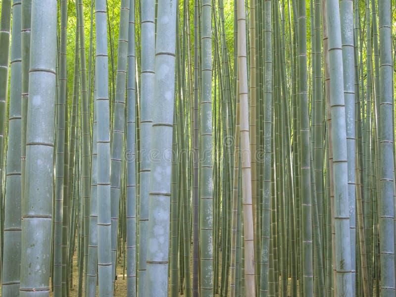Bambusowy las w Kyoto Arashiyama terenie zdjęcia stock