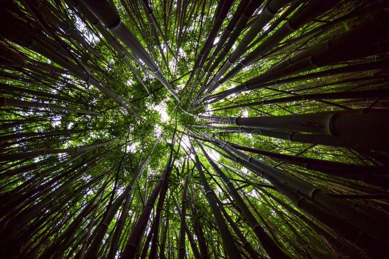 Bambusowy Lasowy baldachim Szeroki, Fisheye zdjęcie stock
