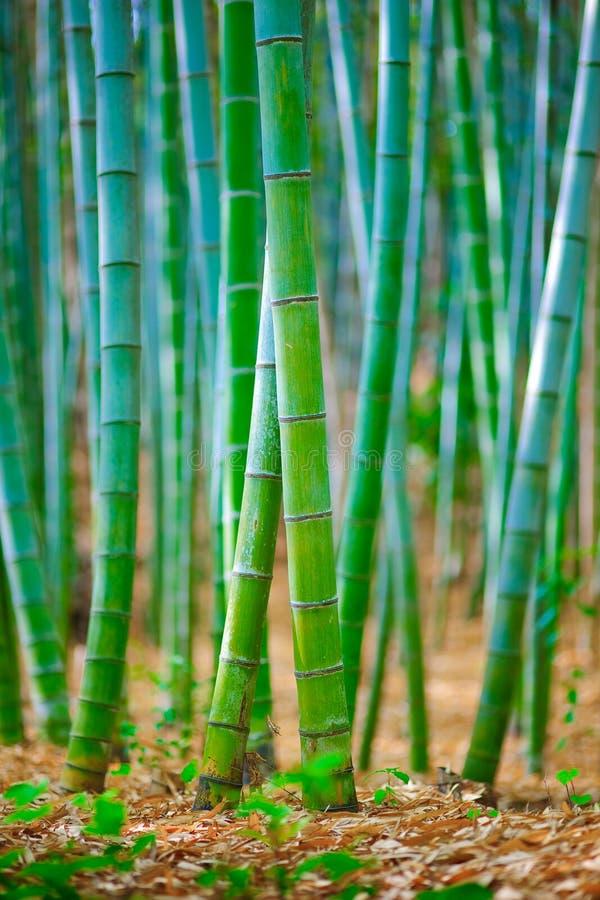 bambusowy lasowy Japan obraz royalty free