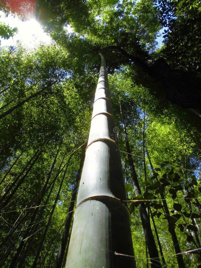 Bambusowy Lasowy Sagano Kyoto Japonia obrazy royalty free