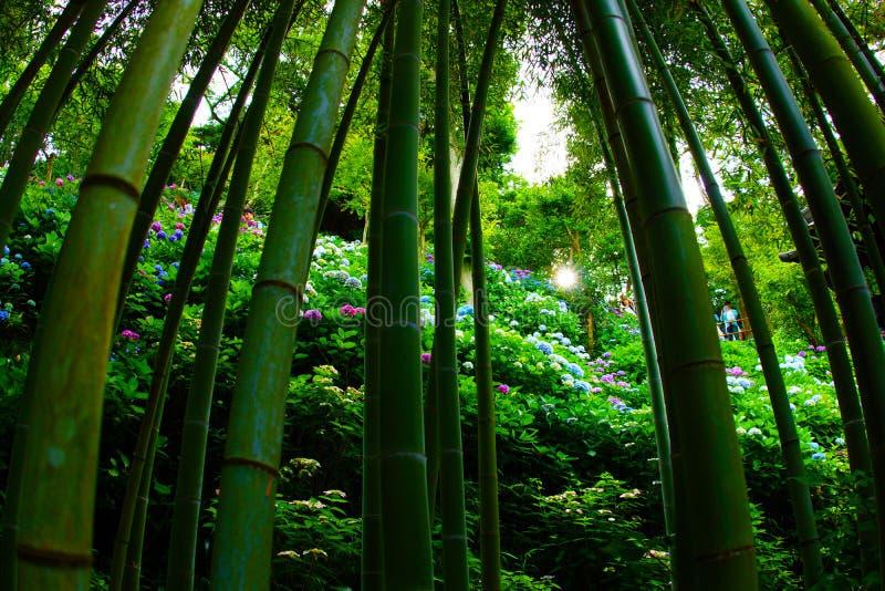 Bambusowy lasowy wizerunek obraz royalty free