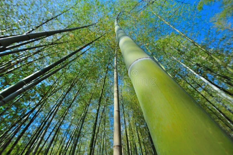 bambusowy szeroki Japan wysoki obrazy stock