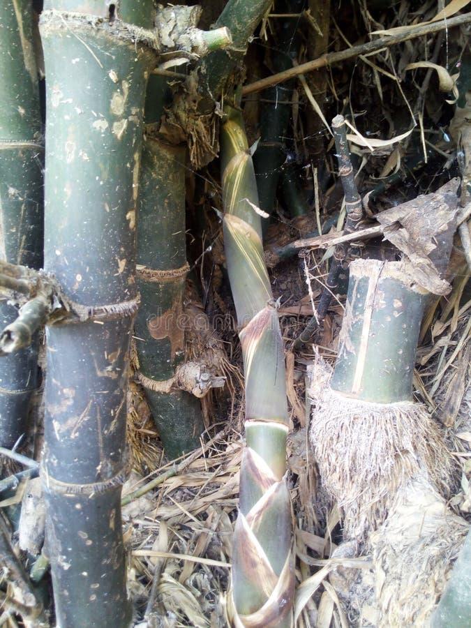 Bambusschoß lizenzfreie stockfotografie