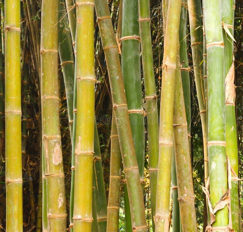 Bambusse stockfotos