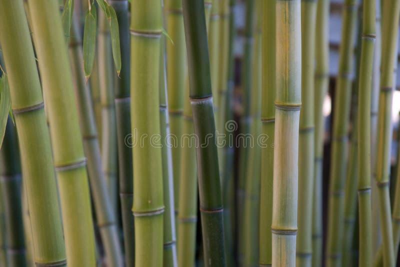 Bambuswald stockfoto