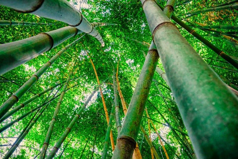 Bambuswald, der zum Himmel schaut lizenzfreies stockfoto