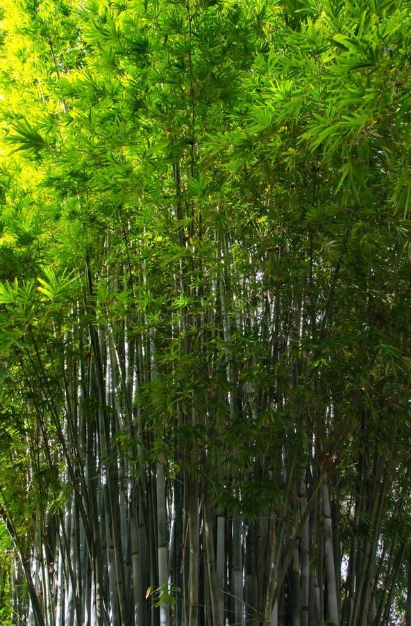 Bambuswald, Florida lizenzfreie stockfotos