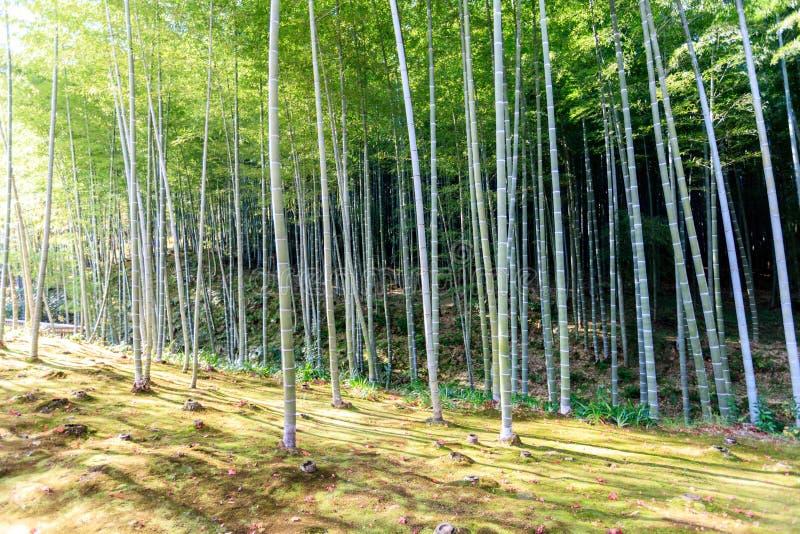 Bambuswald in Japan, Arashiyama stockfoto