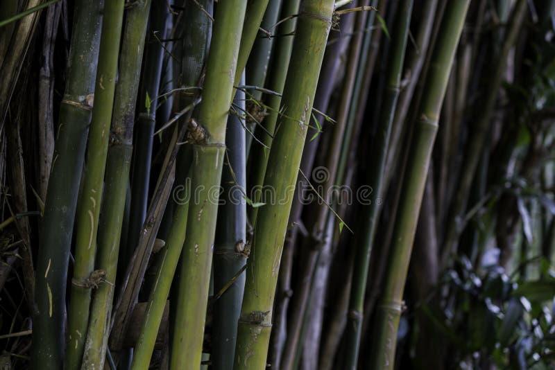 bambusy fotografia royalty free
