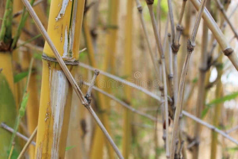 Bambusy na natury dużej trawie zdjęcie royalty free