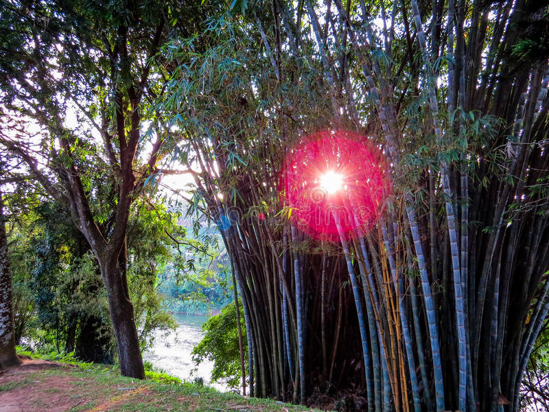 Bambusy w Kandy ogródzie botanicznym fotografia stock