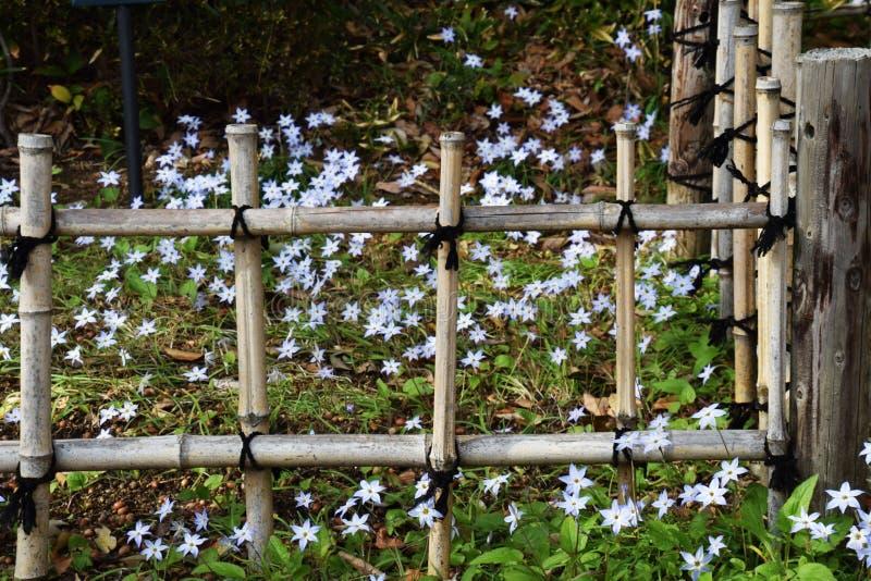 Bambuszaun und Frühling Starflowers stockfotos