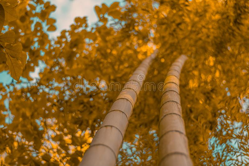 Bambuträd i höst royaltyfri bild