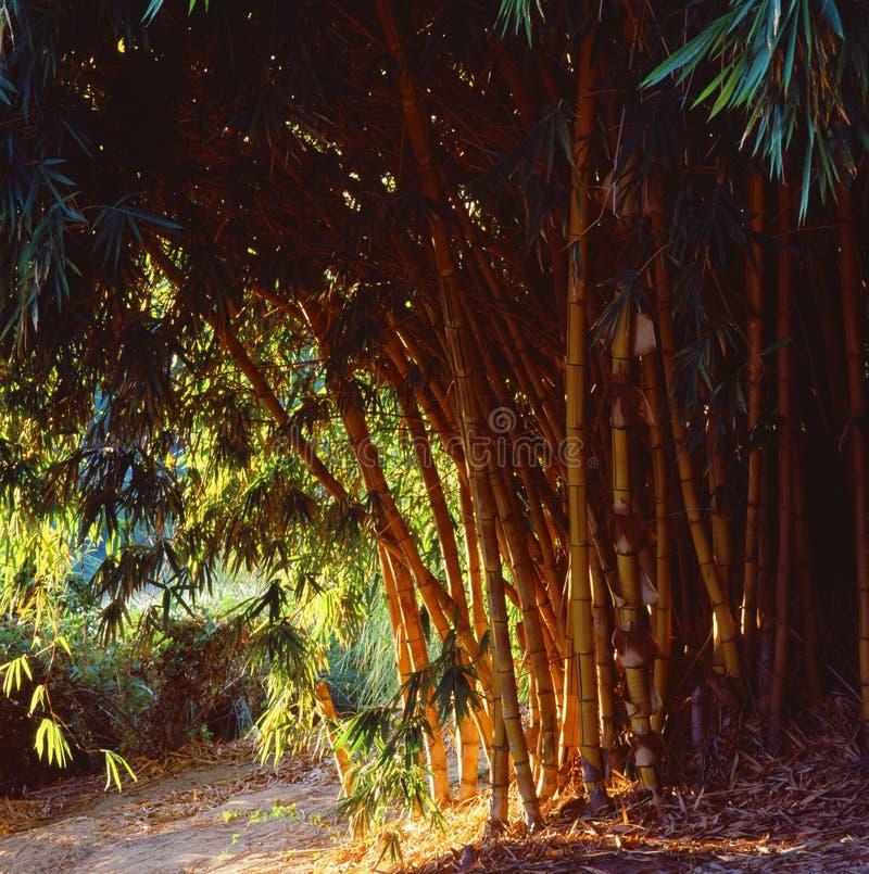 Bambuträd i namibian savannah fotografering för bildbyråer