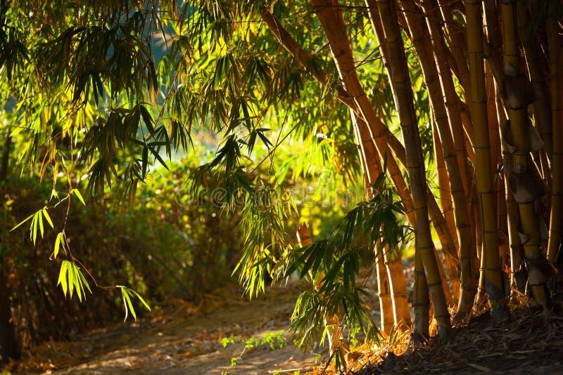 Bambuträd i namibian savannah arkivbilder