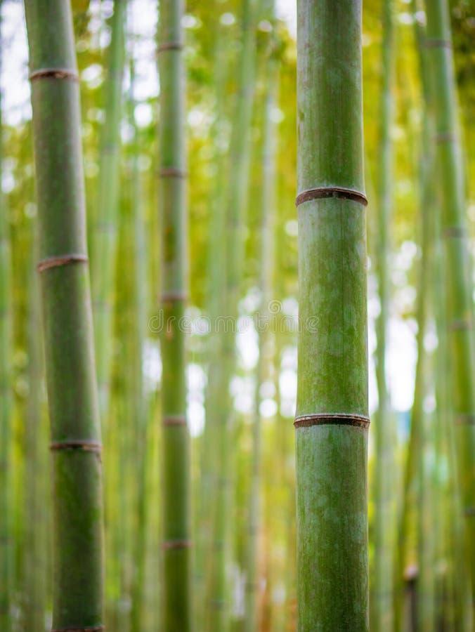 Bambuträdet i Arashiyama parkerar i Japan Naturlig bakgrund av den asiatiska skogen fotografering för bildbyråer