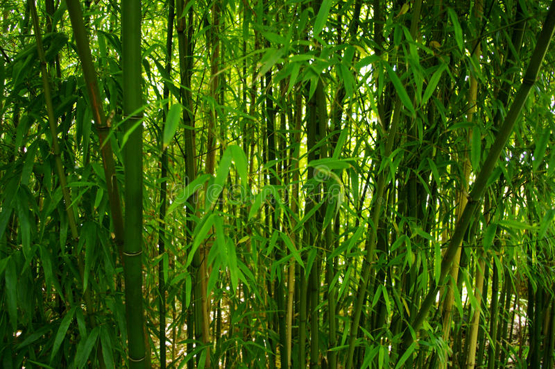 bambutrees royaltyfri bild