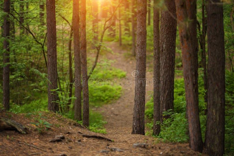 Bana i en solnedgång för skog för sörjaträd arkivbilder