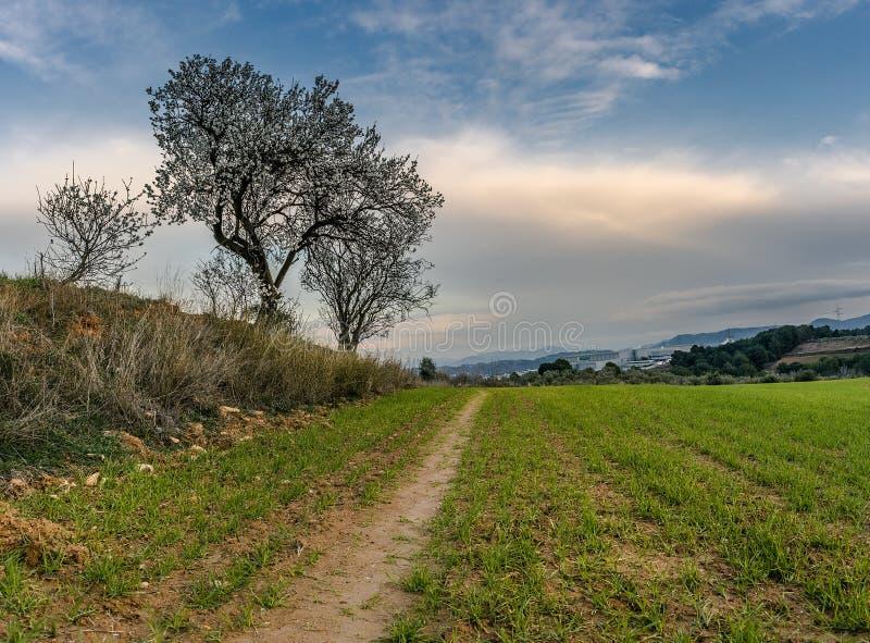 Bana i grönt fält med mandelblomningen och blå himmel arkivfoton
