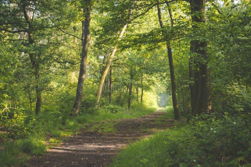 Bana i skogsolen som kommer till och med träden med skuggor på banan ottan går i den Oisterwijkse Bossen enen Vennen royaltyfri bild