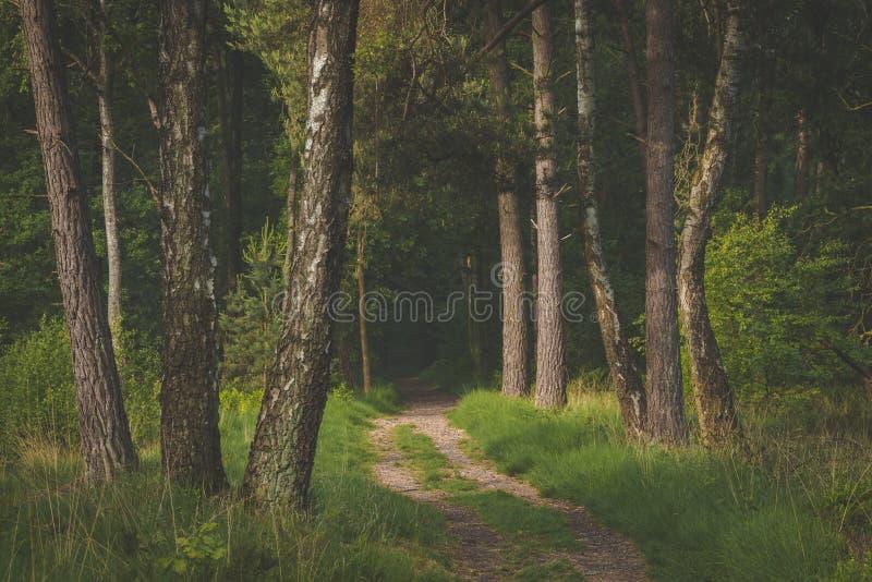 Bana i skogsolen som kommer till och med träden med skuggor på banan ottan går i den Oisterwijkse Bossen enen Vennen royaltyfria foton