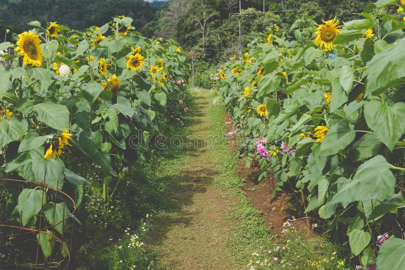 bana i sunfowerfält Blommande gul blomma i trädgård royaltyfria foton