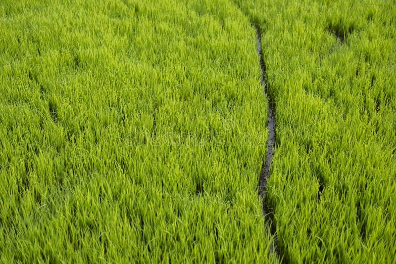 Bana mellan av risfältväxten i fältet arkivbilder