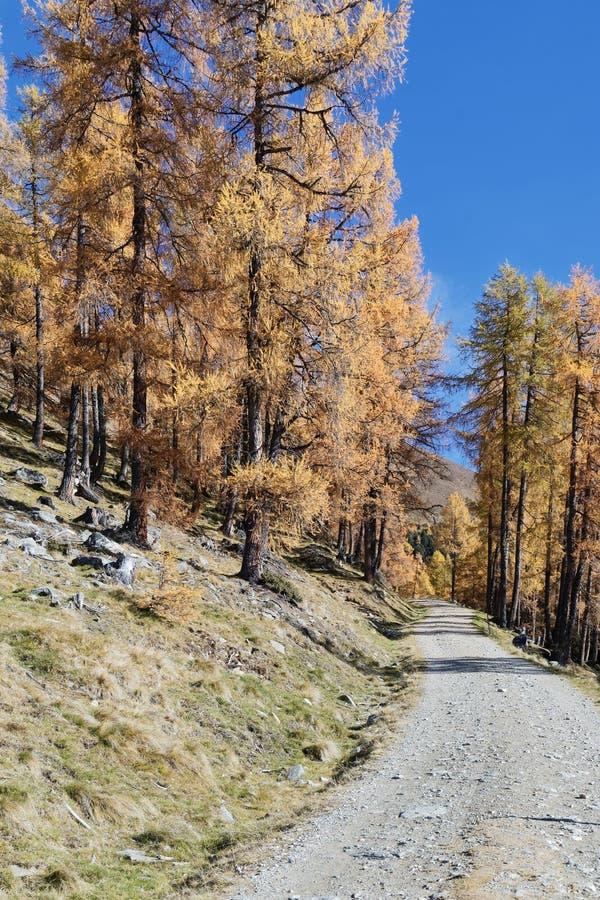 Bana till och med skog för lärkträd royaltyfri bild