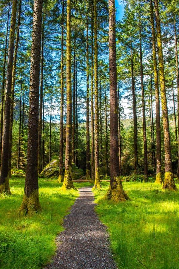 Bana till och med skog med höga träd royaltyfri fotografi