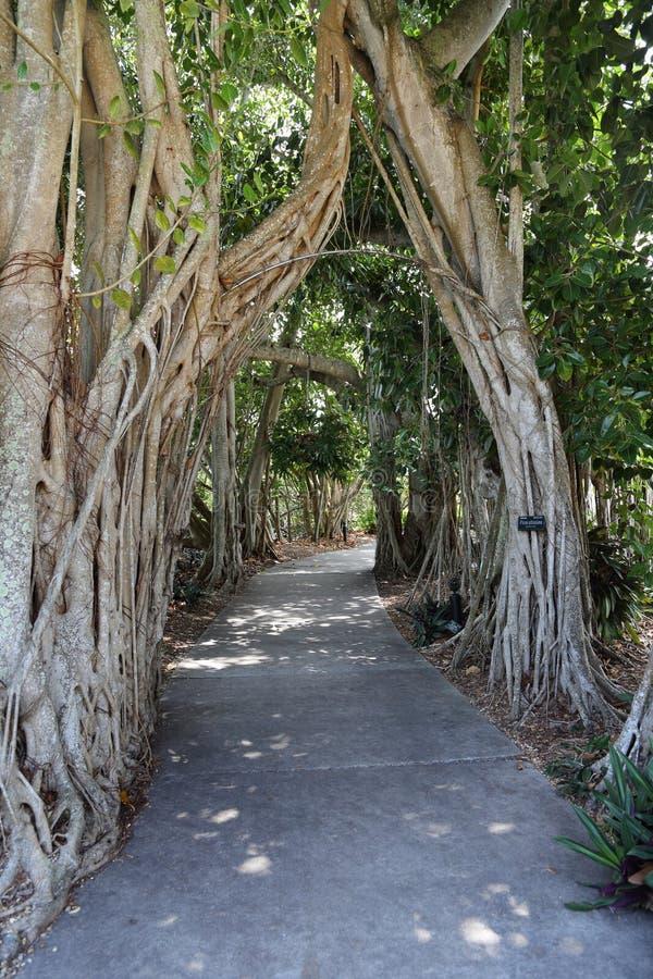 Bana till och med träd, Marie Selby Botanical Gardens, Sarasota, Florida arkivfoton