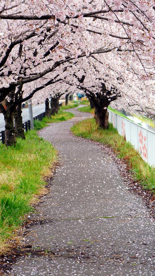 Bana under träd för körsbärsröd blomning royaltyfri bild