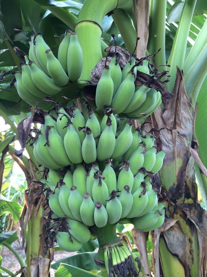 Banaan stock afbeelding