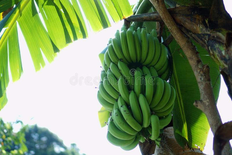 Banaan door verscheidene soorten grote kruidachtige bloeiende installaties in de soort Musa Hoge vitamine stock foto