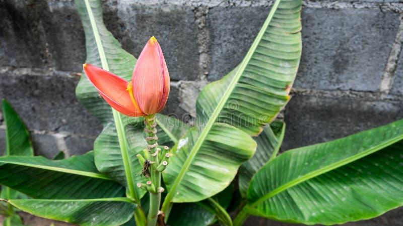 banaan mooie close-up royalty-vrije stock foto's