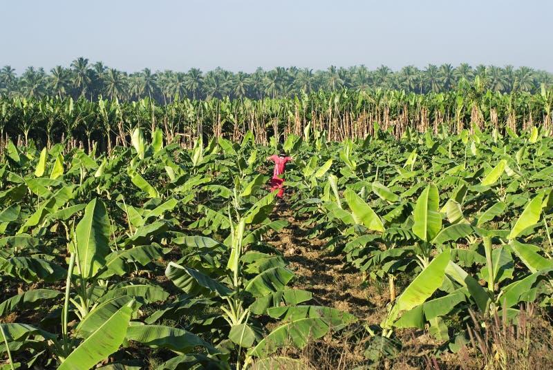 Banaanaanplanting en vogelverschrikker stock afbeelding