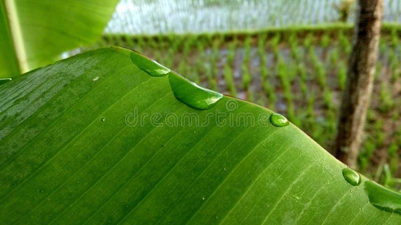 Banaanbladeren en dauw royalty-vrije stock afbeelding
