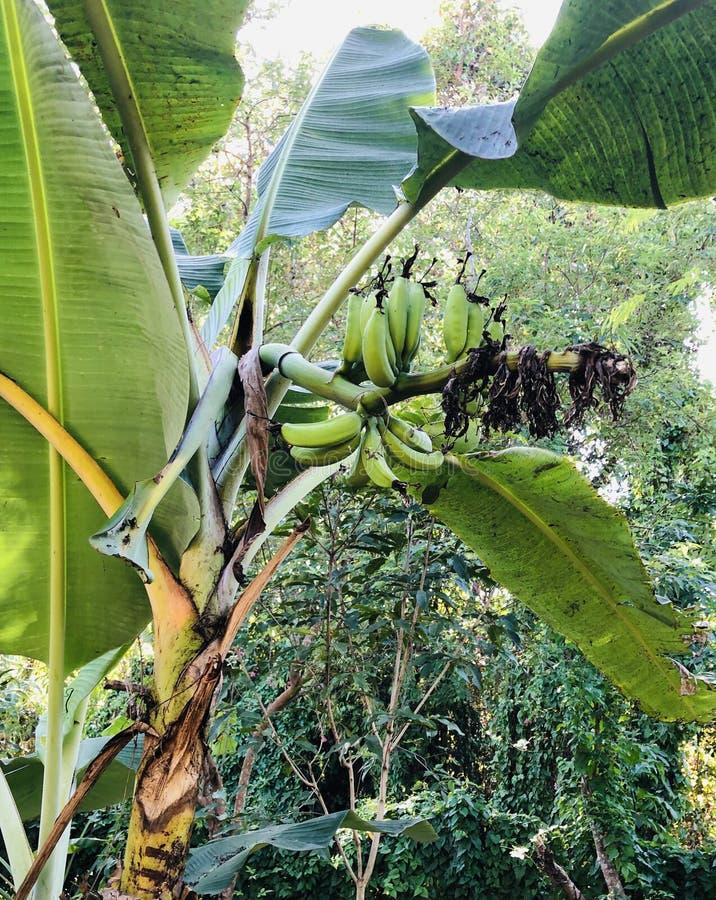 Banaanbomen stock foto