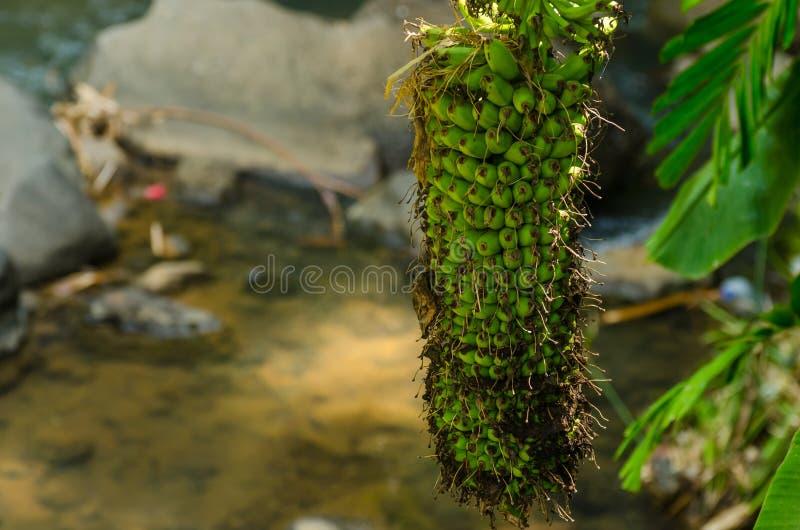 banaanbomen in Indonesië royalty-vrije stock afbeeldingen