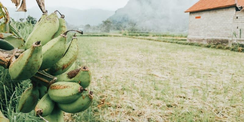 Banaanbomen op de rand van de padievelden - beeld van Bali Indonesië stock afbeelding
